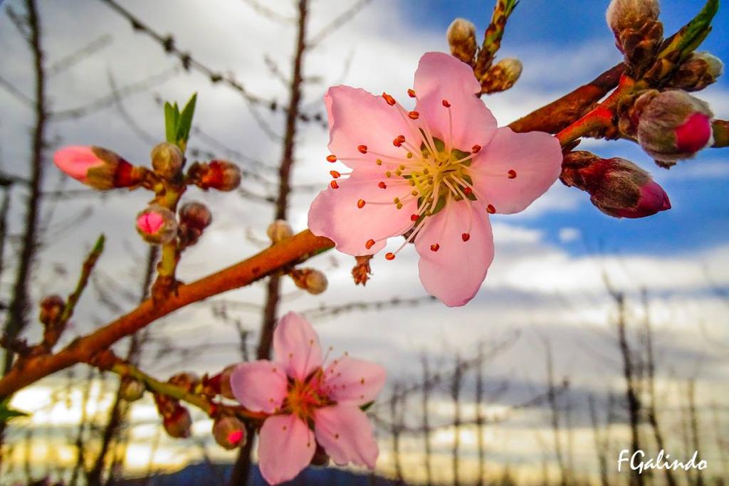 Melocotoneros en flor (Fernanddo Galindo)